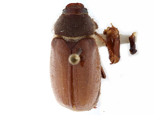 (Phyllophaga opacicollis - CCDB-23513-H06)  @11 [ ] CreativeCommons - Attribution Non-Commercial Share-Alike (2015) CBG Photography Group Centre for Biodiversity Genomics