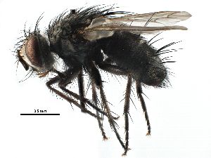 (Tachinomyia - CCDB-23517-D12)  @15 [ ] CreativeCommons - Attribution Non-Commercial Share-Alike (2015) BIO Photography Group Biodiversity Institute of Ontario