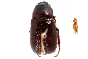 (Phyllophaga dispar - CCDB-23520-A11)  @11 [ ] CreativeCommons - Attribution Non-Commercial Share-Alike (2015) BIO Photography Group Biodiversity Institute of Ontario