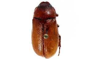 (Phyllophaga forbesi - CCDB-23520-B05)  @11 [ ] CreativeCommons - Attribution Non-Commercial Share-Alike (2015) CBG Photography Group Centre for Biodiversity Genomics