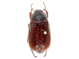 (Phyllophaga longispina - CCDB-23520-D10)  @11 [ ] CreativeCommons - Attribution Non-Commercial Share-Alike (2015) BIO Photography Group Biodiversity Institute of Ontario