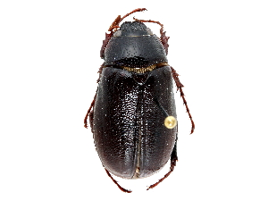 (Phyllophaga marginalis - CCDB-23520-E06)  @11 [ ] CreativeCommons - Attribution Non-Commercial Share-Alike (2015) BIO Photography Group Biodiversity Institute of Ontario