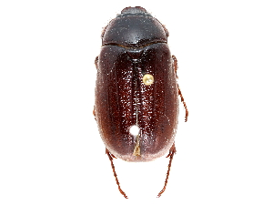 (Phyllophaga nitida - CCDB-23520-E07)  @11 [ ] CreativeCommons - Attribution Non-Commercial Share-Alike (2015) BIO Photography Group Biodiversity Institute of Ontario