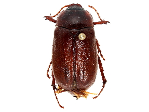 (Phyllophaga vehemens - CCDB-23520-F06)  @11 [ ] CreativeCommons - Attribution Non-Commercial Share-Alike (2015) BIO Photography Group Biodiversity Institute of Ontario