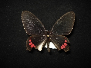 (Parides erithalion polyzelus - MAL-02082)  @12 [ ] Unspecified (default): All Rights Reserved  Unspecified Unspecified