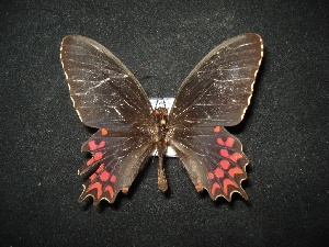 (Parides photinus - MAL-02095)  @12 [ ] Unspecified (default): All Rights Reserved  Unspecified Unspecified