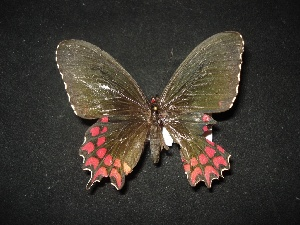 (Parides photinus photinus - MAL-02097)  @12 [ ] Unspecified (default): All Rights Reserved  Unspecified Unspecified
