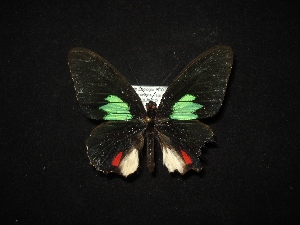 (Parides sesostris zestos - MAL-02100)  @11 [ ] Unspecified (default): All Rights Reserved  Unspecified Unspecified