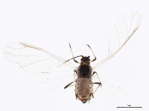 (Rhopalosiphum - NIBGE APH-00134)  @15 [ ] CreativeCommons - Attribution Non-Commercial Share-Alike (2012) CBG Photography Group Centre for Biodiversity Genomics