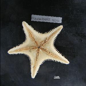 (Plutonasteridae - MACNINVE0240)  @11 [ ] CreativeCommons - Attribution Non-Commercial No Derivatives (2015) Pablo E. Penchaszadeh Museo Argentino de Ciencias Naturales, CABA Argentina