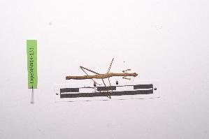 (Compsothespinae - LopeMAN14-131)  @12 [ ] by-nc-sa (2014) Nicolas Moulin Nicolas Moulin entomologie