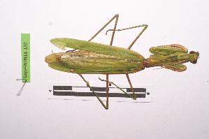 (Mantinae - LopeMAN14-139)  @13 [ ] by-nc-sa (2014) Nicolas Moulin Nicolas Moulin entomologie