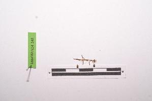 (Oxyothespinae - LopeMAN14-148)  @12 [ ] by-nc-sa (2014) Nicolas Moulin Nicolas Moulin entomologie