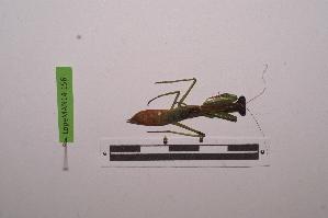 (Polyspilota - LopeMAN14-156)  @13 [ ] by-nc-sa (2014) Nicolas Moulin Nicolas Moulin entomologie