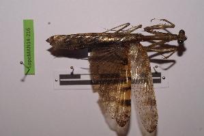 (Mantinae - LopeMAN14-216)  @13 [ ] by-nc-sa (2014) Nicolas Moulin Nicolas Moulin entomologie