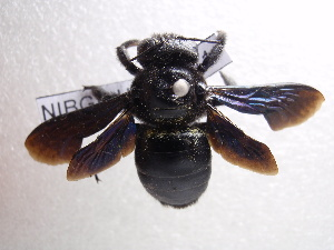 (Xylocopa iridipennis - NIBGE HYM-00011)  @14 [ ] CreativeCommons - Attribution Non-Commercial Share-Alike (2010) Muhammad Ashfaq National Institute for Biotechnology and Genetic Engineering Faisalabad Pakistan