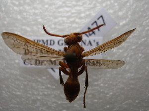 (Polistes watti - NIBGE HYM-00477)  @13 [ ] CreativeCommons - Attribution Non-Commercial Share-Alike (2011) Muhammad Ashfaq National Institute for Biotechnology and Genetic Engineering Faisalabad Pakistan