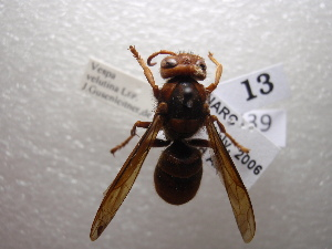 (Vespula velutina - NIBGE HYM-00539)  @11 [ ] CreativeCommons - Attribution Non-Commercial Share-Alike (2011) Muhammad Ashfaq National Institute for Biotechnology and Genetic Engineering Faisalabad Pakistan
