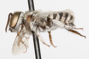 (Megachile argentata - NIBGE IMB-00122)  @13 [ ] by-nc - Creative Commons - Attribution Non-Commercial (2009) Muhammad Ashfaq, NIBGE Unspecified