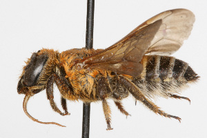 (Megachile bicolor - NIBGE IMB-00132)  @15 [ ] by-nc - Creative Commons - Attribution Non-Commercial (2009) Muhammad Ashfaq, NIBGE Unspecified