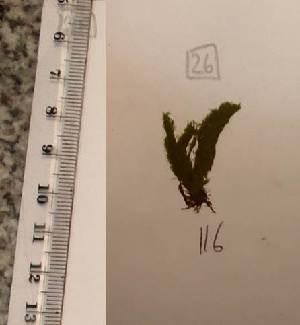 (Cladophora lehmanniana - Fricke_116)  @11 [ ] CreativeCommons - Attribution Non-Commercial (2013) Unspecified Universidad Nacional del Sur