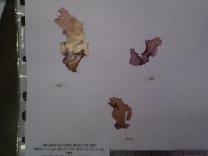 (Porphyra thuretii - Gauna_413)  @11 [ ] CreativeCommons - Attribution Non-Commercial (2013) Unspecified Universidad Nacional del Sur