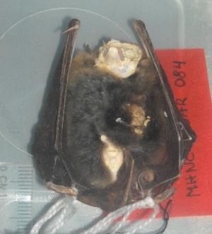 (Myotis cf. albescens - MHNC-M-BAR 084)  @12 [ ] CreativeCommons - Attribution Non-Commercial (2011) Museo de Historia Natural Alcide d'Orbigny Museo de Historia Natural Alcide d'Orbigny