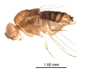 (Drosophila seguyi - BIOUG02204-F08)  @12 [ ] CreativeCommons - Attribution Non-Commercial Share-Alike (2012) Muhammad Ashfaq Biodiversity Institute of Ontario
