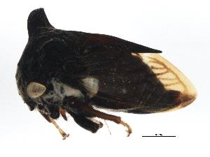 (Leptocentrus - BIOUG02381-B01)  @13 [ ] CreativeCommons - Attribution Non-Commercial Share-Alike (2013) BIO Photography Group Biodiversity Institute of Ontario