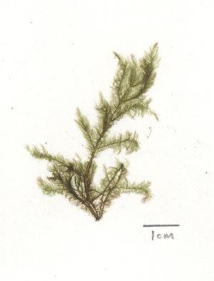 (Arthrocladiaceae - NCweed1212)  @11 [ ] Copyright (2013) D W Freshwater University of North Carolina, Wilmington