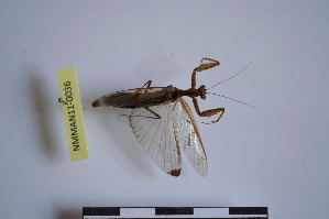 (Acanthopidae - NMMAN11-0036)  @13 [ ] Unspecified (default): All Rights Reserved  Unspecified Unspecified