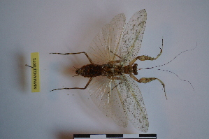(Liturgusidae - NMMAN11-0071)  @13 [ ] Unspecified (default): All Rights Reserved  Unspecified Unspecified