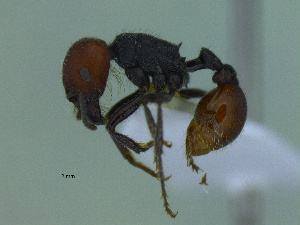 (Pogonomyrmex sp. CIP01 - MACN-Bar-Ins-ct 2980)  @13 [ ] Unspecified (default): All Rights Reserved  Unspecified Unspecified