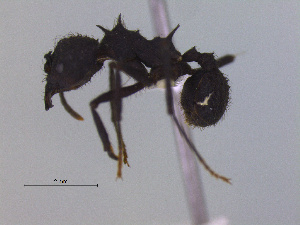 (Acromyrmex lobicornis - MACN-Bar-Ins-ct 2999)  @11 [ ] Unspecified (default): All Rights Reserved  Unspecified Unspecified
