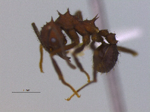 (Acromyrmex hispidus - MACN-Bar-Ins-ct 3003)  @11 [ ] Unspecified (default): All Rights Reserved  Unspecified Unspecified
