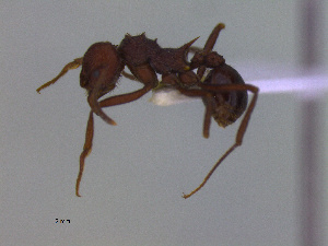 (Acromyrmex striatus - MACN-Bar-Ins-ct 3006)  @12 [ ] Unspecified (default): All Rights Reserved  Unspecified Unspecified