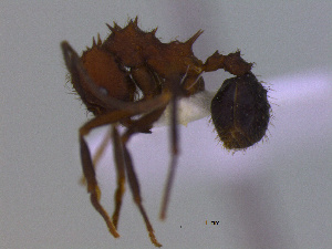 (Acromyrmex sp. CIP01 - MACN-Bar-Ins-ct 3009)  @11 [ ] Unspecified (default): All Rights Reserved  Unspecified Unspecified