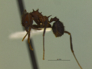 (Acromyrmex sp. CIP01 - MACN-Bar-Ins-ct 3066)  @11 [ ] Unspecified (default): All Rights Reserved  Unspecified Unspecified