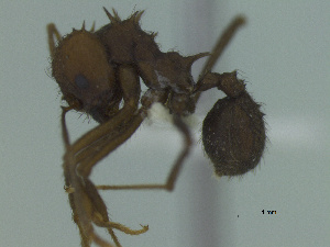 (Acromyrmex fracticornis - MACN-Bar-Ins-ct 3181)  @11 [ ] Unspecified (default): All Rights Reserved  Unspecified Unspecified