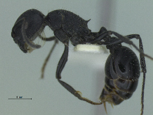 (Pogonomyrmex carbonarius - MACN-Bar-Ins-ct 3387)  @11 [ ] Unspecified (default): All Rights Reserved  Unspecified Unspecified