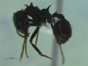 (Acromyrmex lobicornis - MACN-Bar-Ins-ct 3417)  @11 [ ] Unspecified (default): All Rights Reserved  Unspecified Unspecified
