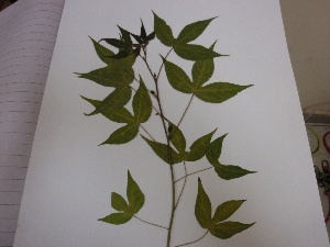 (Malvaceae - NIBGE-Cot-143)  @11 [ ] Copyright (2010) M. Ashfaq, NIBGE, Faisalabad, Pakistan NIBGE, Faisalabad, Pakistan