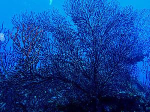 (Iciligorgia - RMNH.COEL.42352)  @11 [ ] CreativeCommons Attribution Non-Commercial Share-Alike (2015) Unspecified Naturalis Biodiversity Center