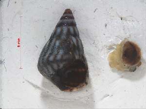 (Echinolittorina interrupta - RMNH.5017572)  @11 [ ] CreativeCommons Attribution Non-Commercial Share-Alike (2015) Unspecified Naturalis Biodiversity Center