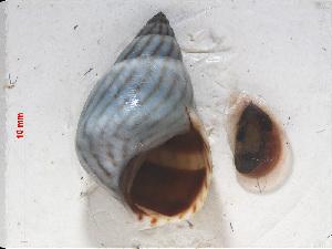 (Echinolittorina ziczac - RMNH.5017618)  @11 [ ] CreativeCommons Attribution Non-Commercial Share-Alike (2015) Unspecified Naturalis Biodiversity Center