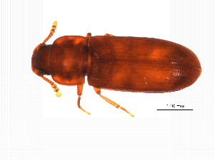 (Tribolium castaneum - MASGI-0242)  @14 [ ] CreativeCommons - Attribution Non-Commercial Share-Alike (2014) Muhammad Ashfaq Biodiversity Institute of Ontario