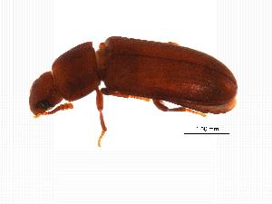 (Tribolium castaneum - MASGI-0368)  @14 [ ] CreativeCommons - Attribution Non-Commercial Share-Alike (2014) Muhammad Ashfaq Biodiversity Institute of Ontario