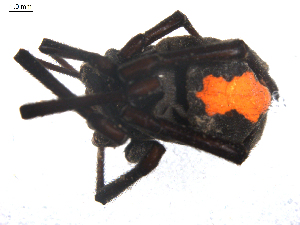 (Latrodectus sp. 2GAB_PAK - NIBGE SPD-00106)  @13 [ ] Copyright  G. Blagoev 2010 Unspecified