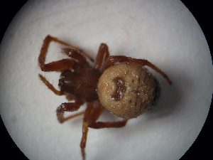 (Araneus mitificus - NIBGE SPD-00247)  @12 [ ] CreativeCommons - Attribution Non-Commercial Share-Alike (2010) Muhammad Ashfaq National Institute for Biotechnology and Genetic Engineering Faisalabad Pakistan