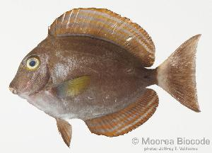 (Acanthurus xanthopterus - MBIO1153.4)  @13 [ ] Unspecified (default): All Rights Reserved  Unspecified Unspecified
